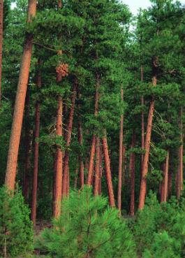 ponderosa-pine-trees