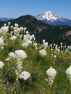 OregonFlora, Beargrass, Oregon Cascades, OSU-Cascades