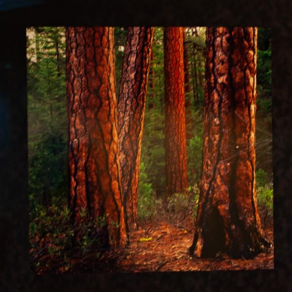 Pondersa Pines by Loren Irving