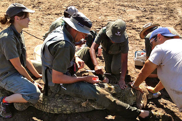 Dr. Heather Broughton Sampling Nile crocodiles as part of a larger river health study attempting to determine the causes behind mass die-offs of crocodiles throughout northeast South Africa.